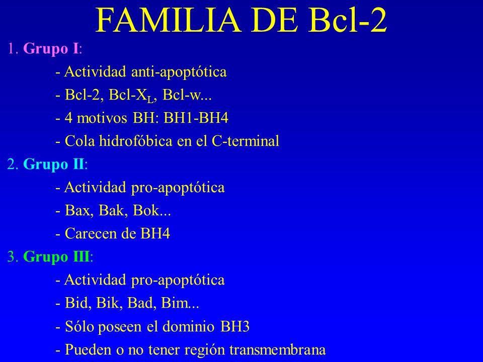 FAMILIA DE Bcl-2 1. Grupo I: - Actividad anti-apoptótica - Bcl-2, Bcl-X L, Bcl-w... - 4 motivos BH: BH1-BH4 - Cola hidrofóbica en el C-terminal 2. Gru