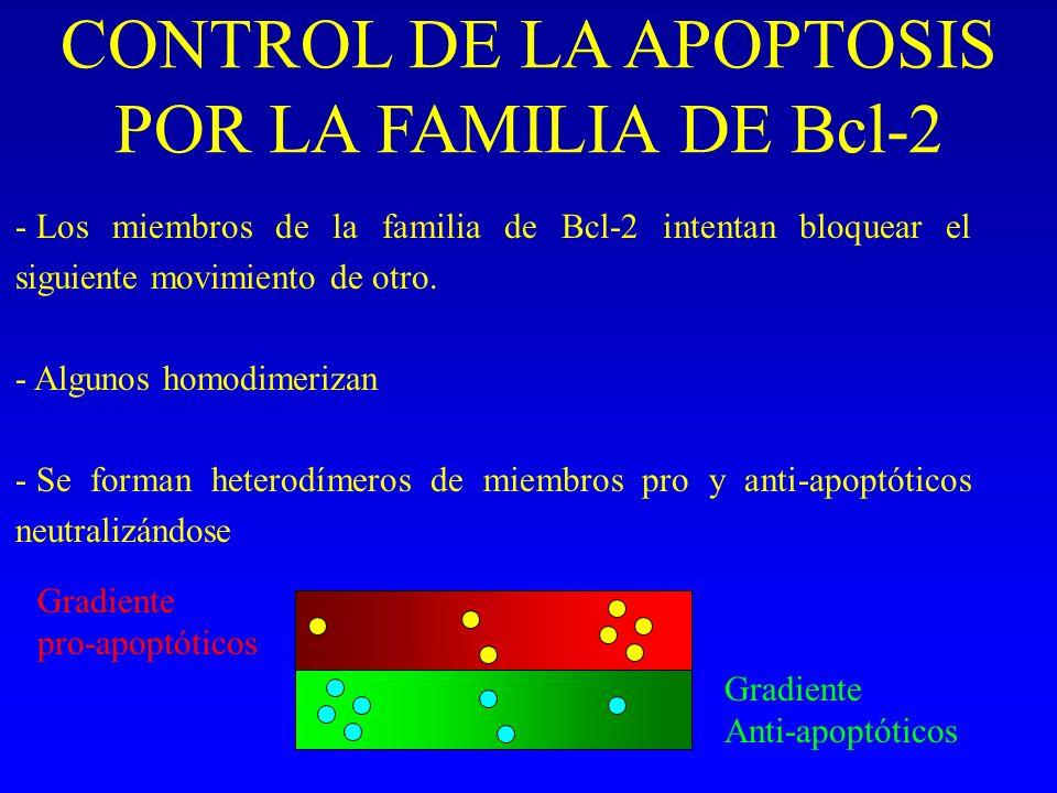 CONTROL DE LA APOPTOSIS POR LA FAMILIA DE Bcl-2 - Los miembros de la familia de Bcl-2 intentan bloquear el siguiente movimiento de otro. - Algunos hom