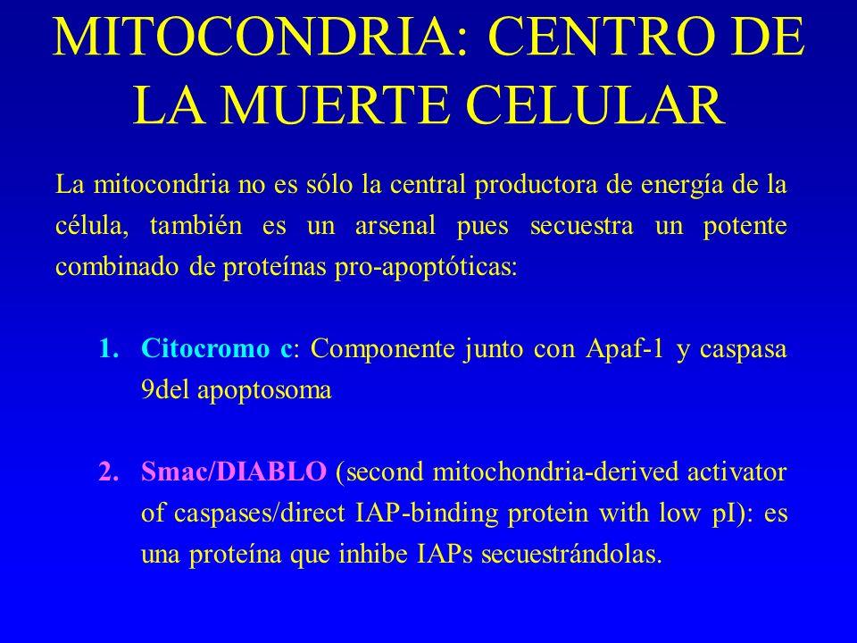 MITOCONDRIA: CENTRO DE LA MUERTE CELULAR La mitocondria no es sólo la central productora de energía de la célula, también es un arsenal pues secuestra