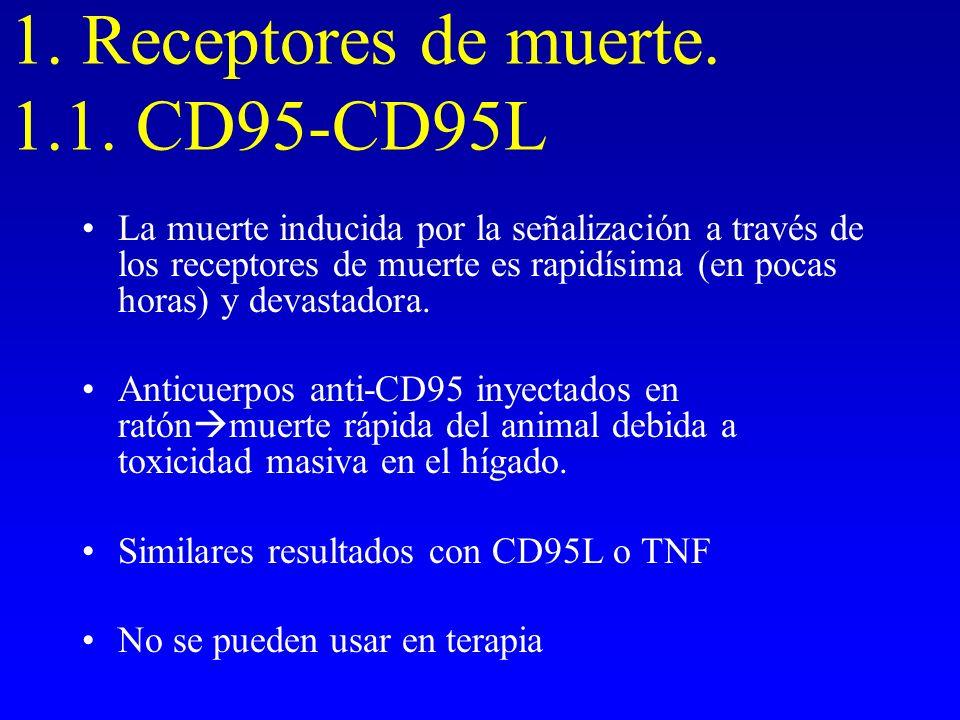 1. Receptores de muerte. 1.1. CD95-CD95L La muerte inducida por la señalización a través de los receptores de muerte es rapidísima (en pocas horas) y