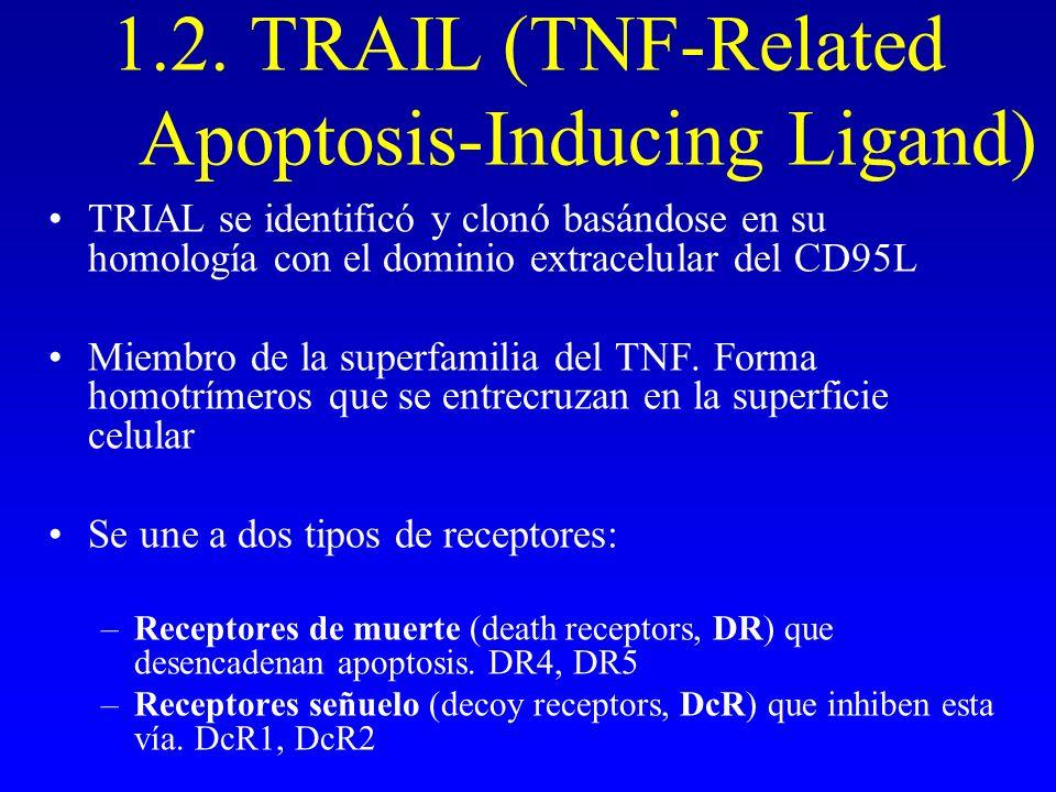 1.2. TRAIL (TNF-Related Apoptosis-Inducing Ligand) TRIAL se identificó y clonó basándose en su homología con el dominio extracelular del CD95L Miembro