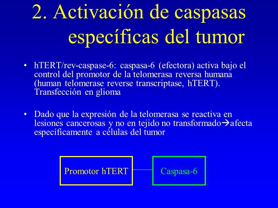 2. Activación de caspasas específicas del tumor hTERT/rev-caspase-6: caspasa-6 (efectora) activa bajo el control del promotor de la telomerasa reversa