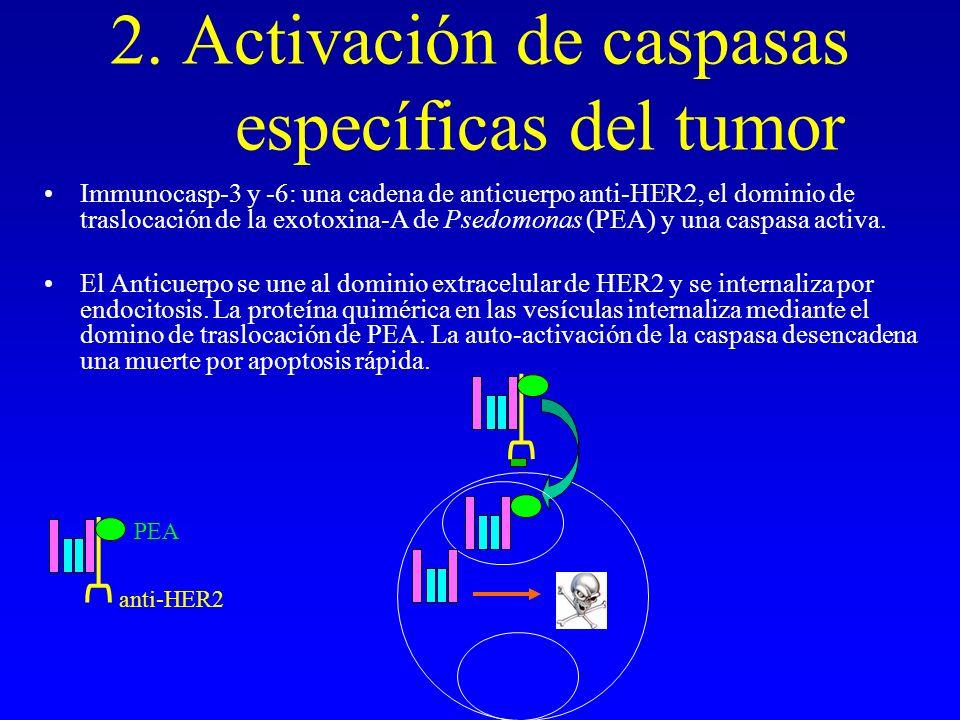 2. Activación de caspasas específicas del tumor Immunocasp-3 y -6: una cadena de anticuerpo anti-HER2, el dominio de traslocación de la exotoxina-A de