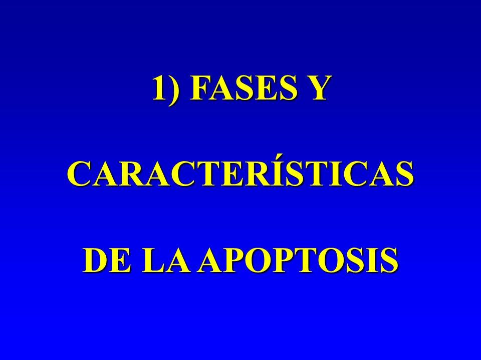 Fases de la apoptosis 1.Decisión 2. Ejecución 4.