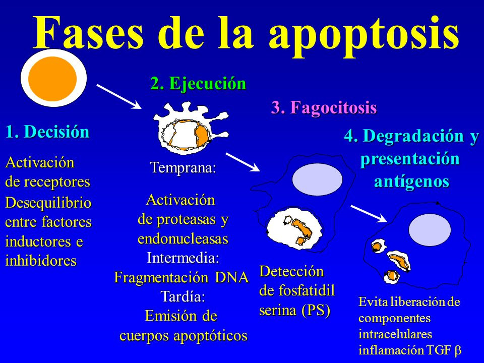 Fases de la apoptosis 1. Decisión 2. Ejecución 4. Degradación y presentación presentaciónantígenos 3. Fagocitosis Desequilibrio entre factores inducto