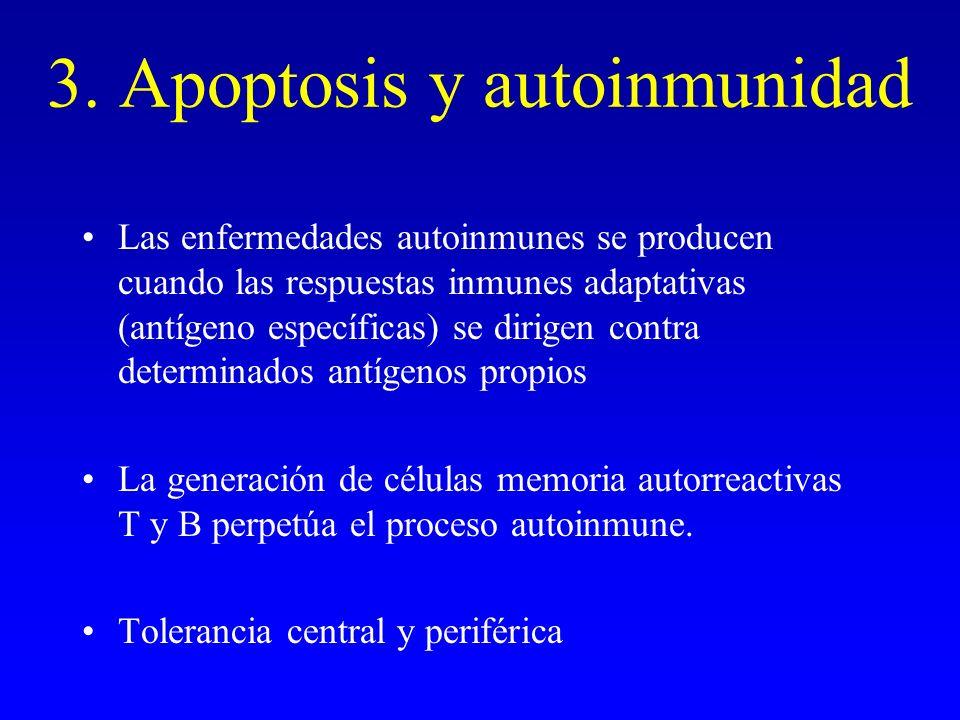 3. Apoptosis y autoinmunidad Las enfermedades autoinmunes se producen cuando las respuestas inmunes adaptativas (antígeno específicas) se dirigen cont