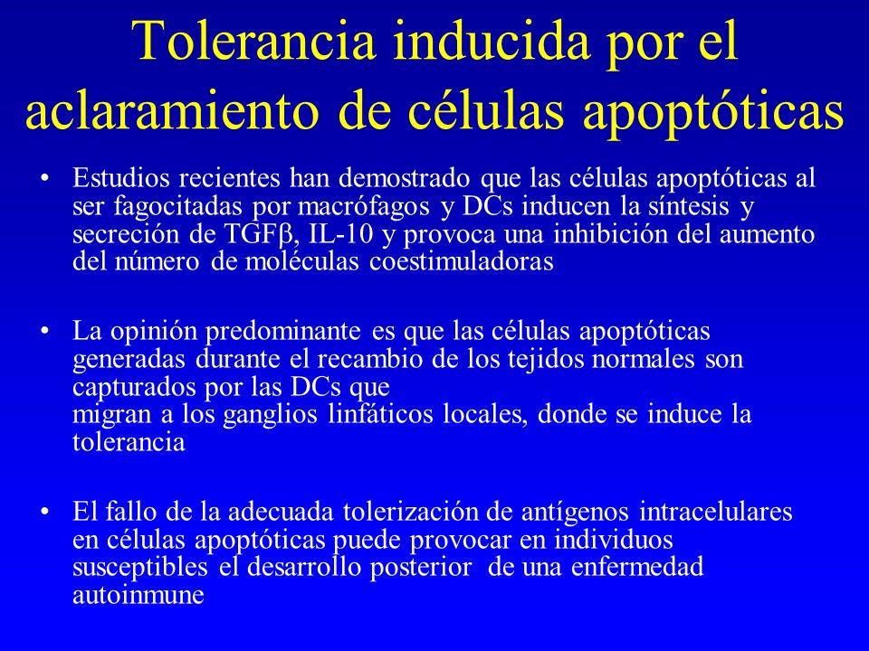 Tolerancia inducida por el aclaramiento de células apoptóticas Estudios recientes han demostrado que las células apoptóticas al ser fagocitadas por ma