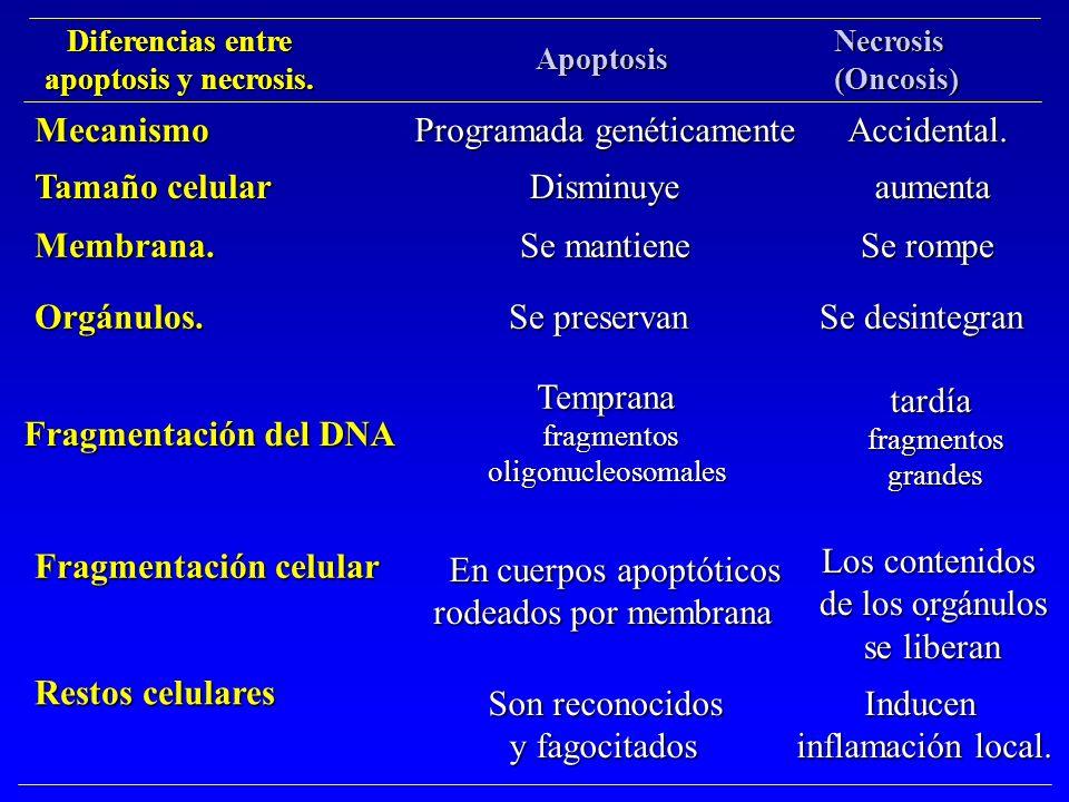 Diferencias entre apoptosis y necrosis. Apoptosis Necrosis(Oncosis) Programada genéticamente Accidental. Se mantiene Se rompe Disminuye aumenta aument
