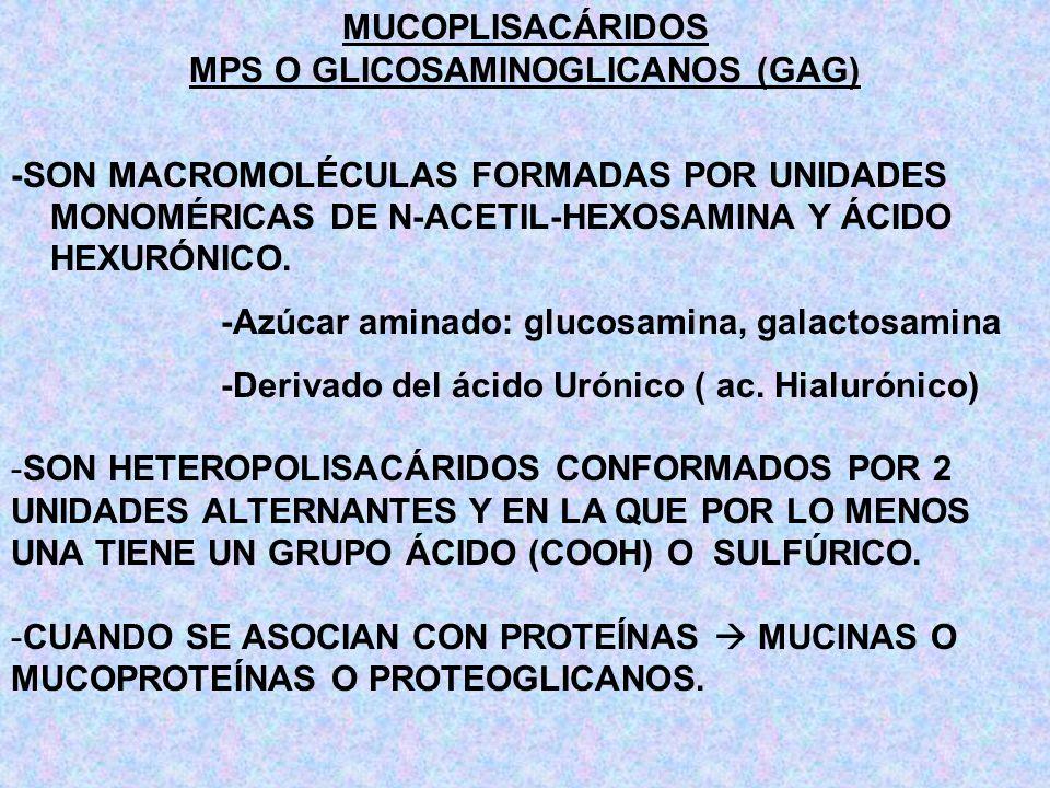 MUCOPLISACÁRIDOS MPS O GLICOSAMINOGLICANOS (GAG) -SON MACROMOLÉCULAS FORMADAS POR UNIDADES MONOMÉRICAS DE N-ACETIL-HEXOSAMINA Y ÁCIDO HEXURÓNICO. -Azú