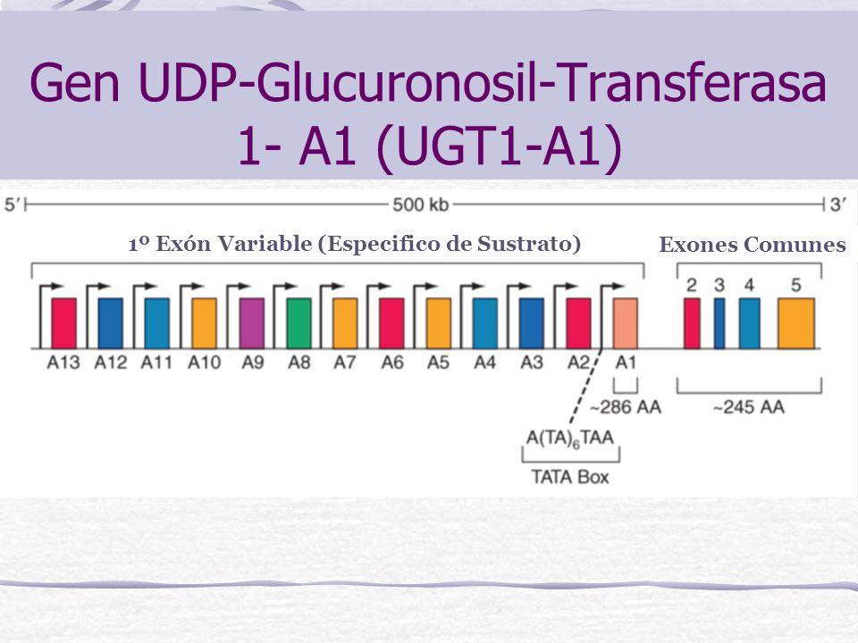 Gen UDP-Glucuronosil-Transferasa 1- A1 (UGT1-A1) 1º Exón Variable (Especifico de Sustrato) Exones Comunes