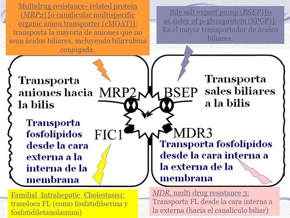 Multidrug resistance- related protein (MRP2) [o canalicular multispecific organic anion transporter (cMOAT)]: transporta la mayoría de aniones que no