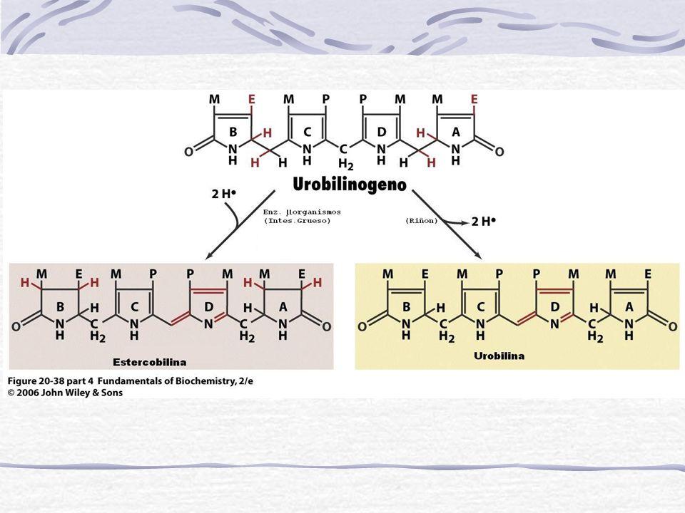 ELIMINACIÓN DE LA BILIRRUBINA Bilirrubina conjugada La mayor parte se elimina por vía biliar hacia el duodeno Intestino Pigmentos fecales Una escasa cantidad de los conjugados se absorben desde el conducto biliar hacia el sistema sanguíneo y se elimina por vía renal Bilirrubina es convertida en Urobilinogeno (incoloro) y Urobilina (marrón).