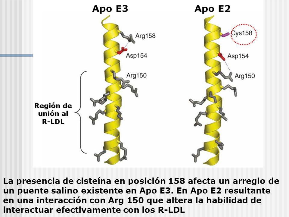 La presencia de cisteína en posición 158 afecta un arreglo de un puente salino existente en Apo E3. En Apo E2 resultante en una interacción con Arg 15