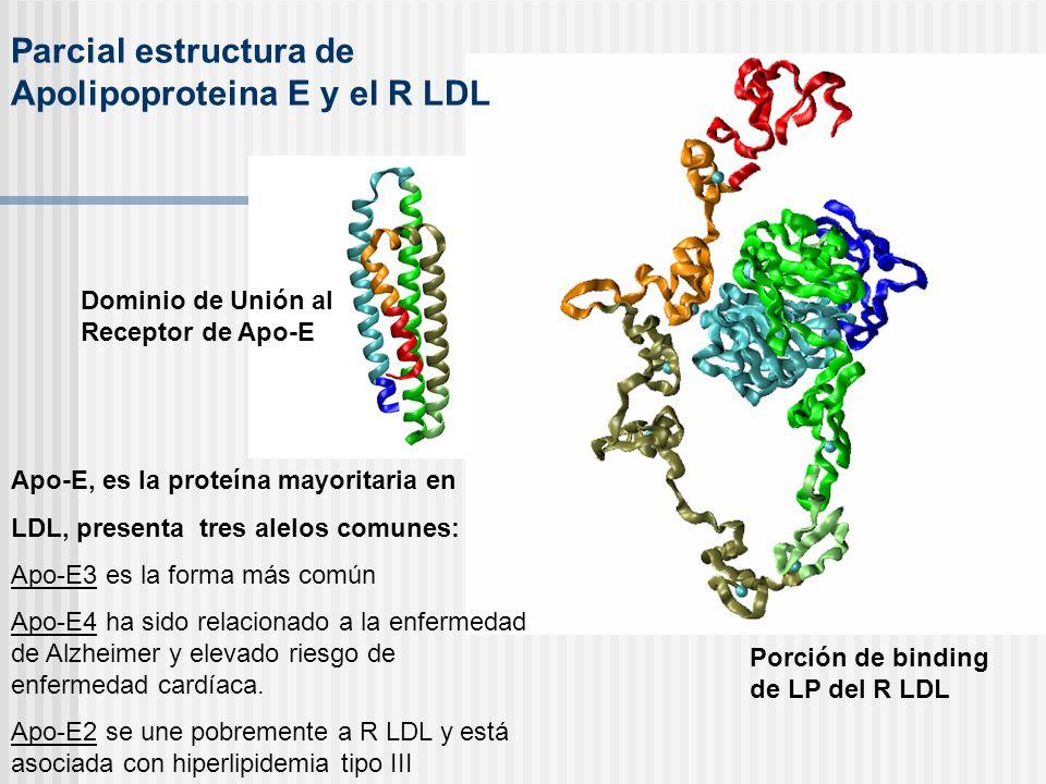 Dominio de Unión al Receptor de Apo-E Porción de binding de LP del R LDL Apo-E, es la proteína mayoritaria en LDL, presenta tres alelos comunes: Apo-E