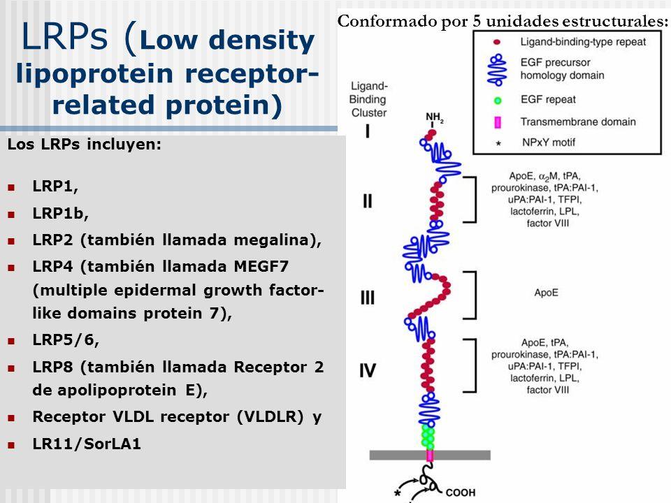 LRPs ( Low density lipoprotein receptor- related protein) Conformado por 5 unidades estructurales: Los LRPs incluyen: LRP1, LRP1b, LRP2 (también llama