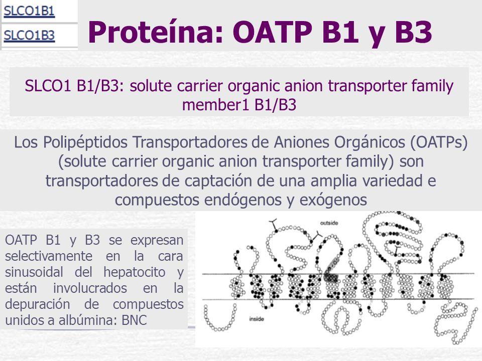 Proteína: OATP B1 y B3 Los Polipéptidos Transportadores de Aniones Orgánicos (OATPs) (solute carrier organic anion transporter family) son transportad