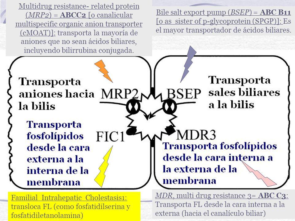 Multidrug resistance- related protein (MRP2) = ABCC2 [o canalicular multispecific organic anion transporter (cMOAT)]: transporta la mayoría de aniones