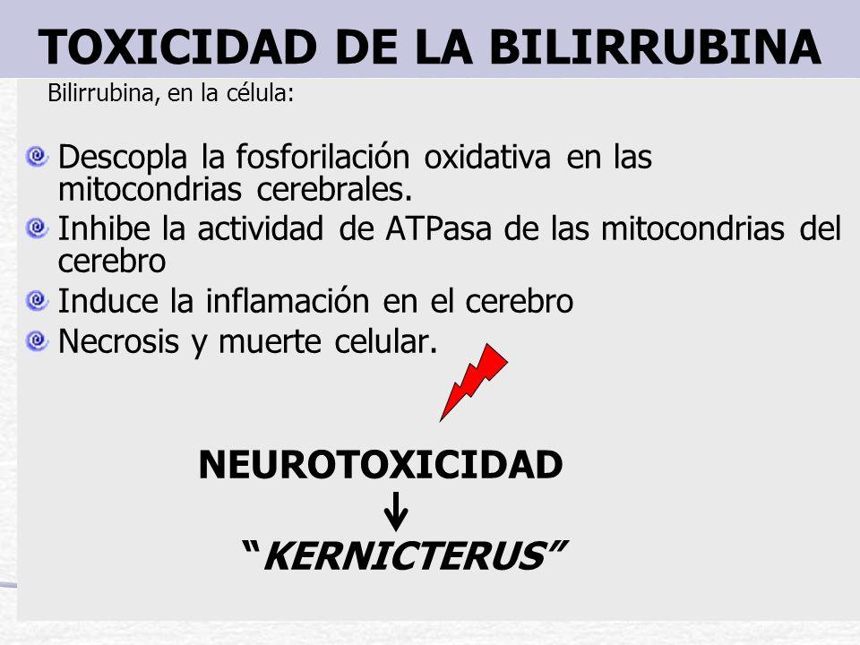 TOXICIDAD DE LA BILIRRUBINA Bilirrubina, en la célula: Descopla la fosforilación oxidativa en las mitocondrias cerebrales. Inhibe la actividad de ATPa