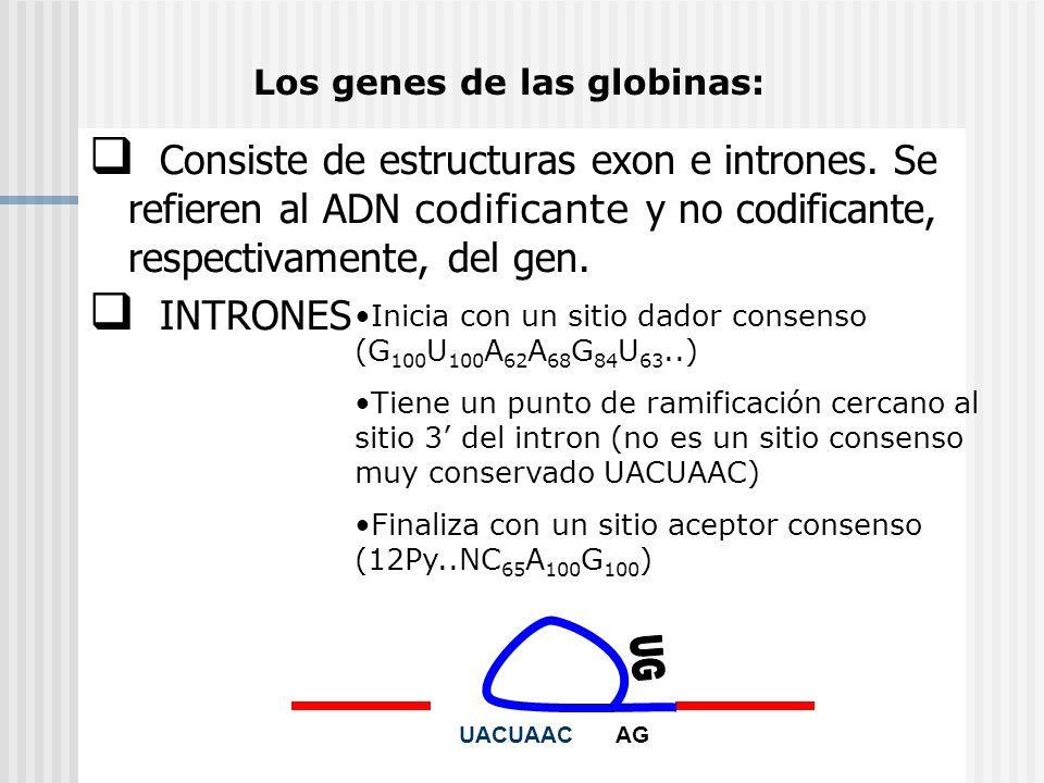 Consiste de estructuras exon e intrones. Se refieren al ADN codificante y no codificante, respectivamente, del gen. INTRONES Los genes de las globinas