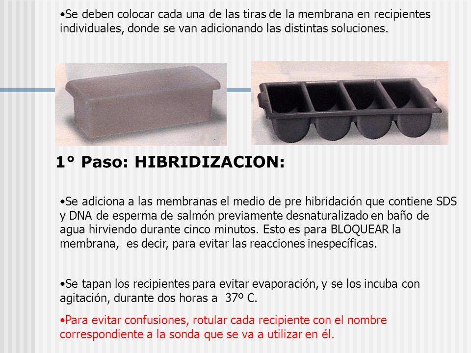 Se deben colocar cada una de las tiras de la membrana en recipientes individuales, donde se van adicionando las distintas soluciones. Se adiciona a la