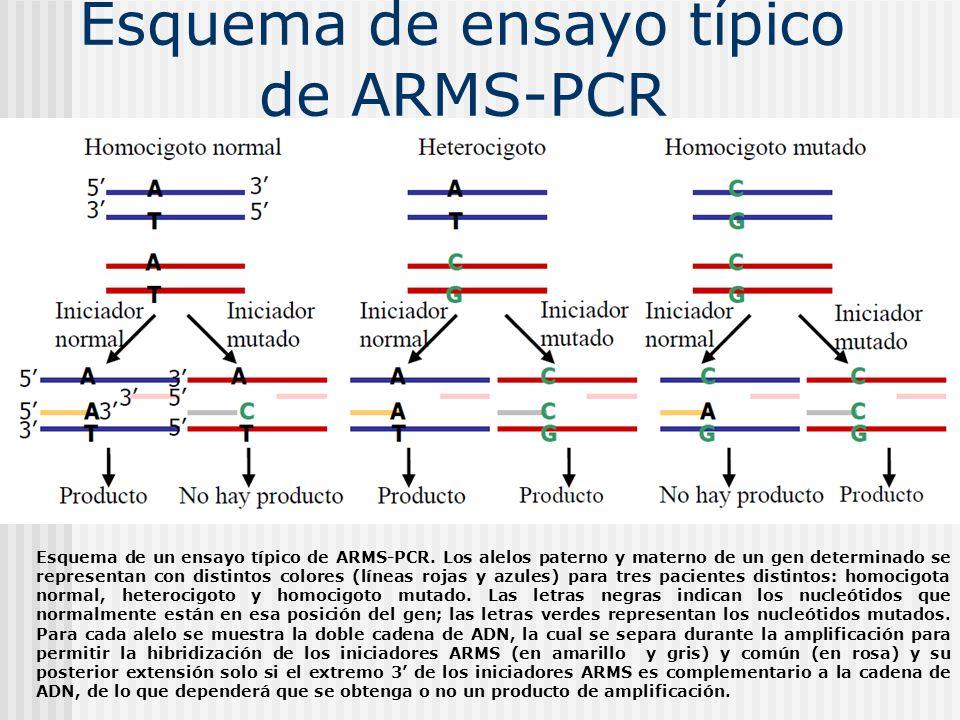 Esquema de ensayo típico de ARMS-PCR Esquema de un ensayo típico de ARMS-PCR. Los alelos paterno y materno de un gen determinado se representan con di