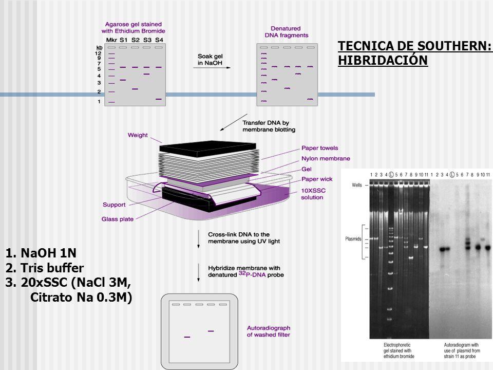 TECNICA DE SOUTHERN: HIBRIDACIÓN 1. NaOH 1N 2. Tris buffer 3. 20xSSC (NaCl 3M, Citrato Na 0.3M)