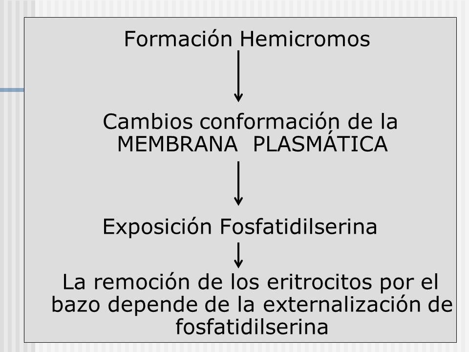 Formación Hemicromos Cambios conformación de la MEMBRANA PLASMÁTICA Exposición Fosfatidilserina La remoción de los eritrocitos por el bazo depende de
