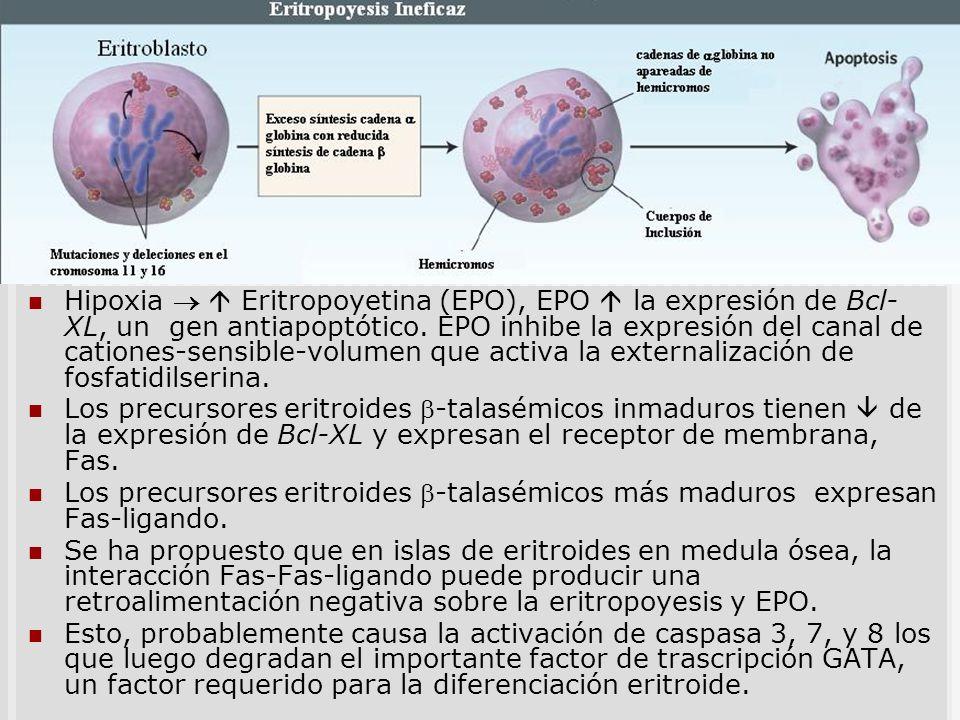 Apoptosis de precursores Hipoxia Eritropoyetina (EPO), EPO la expresión de Bcl- XL, un gen antiapoptótico. EPO inhibe la expresión del canal de cation