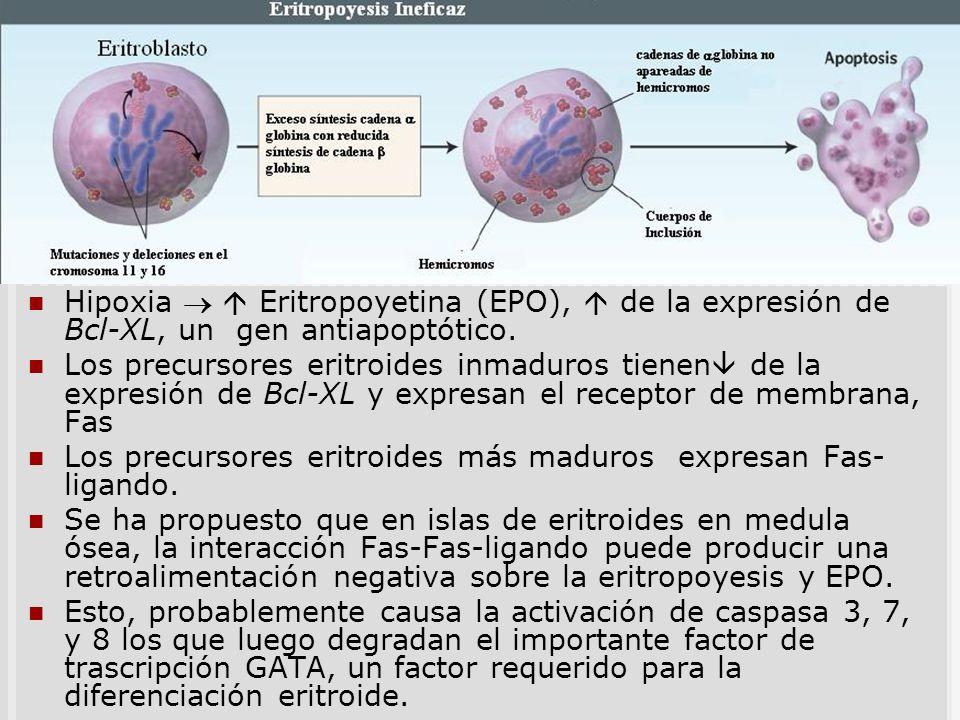 Apoptosis de precursores Hipoxia Eritropoyetina (EPO), de la expresión de Bcl-XL, un gen antiapoptótico. Los precursores eritroides inmaduros tienen d