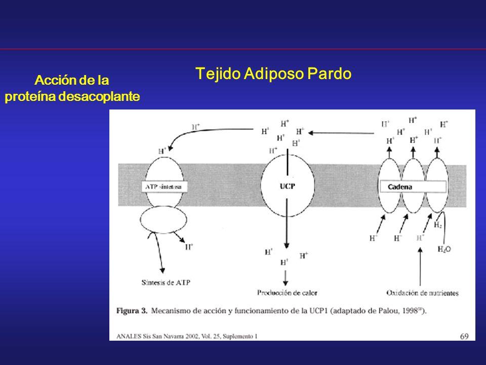 Tejido Adiposo Pardo Acción de la proteína desacoplante