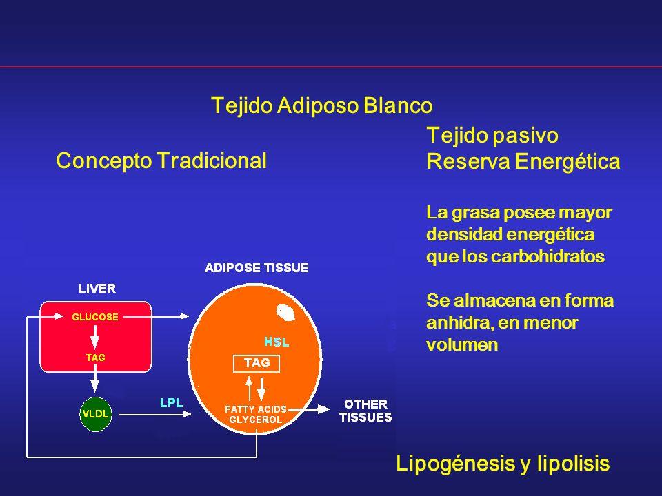 Tejido pasivo Reserva Energética La grasa posee mayor densidad energética que los carbohidratos Se almacena en forma anhidra, en menor volumen Tejido Adiposo Blanco Concepto Tradicional Lipogénesis y lipolisis