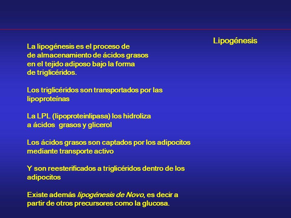 Lipogénesis La lipogénesis es el proceso de de almacenamiento de ácidos grasos en el tejido adiposo bajo la forma de triglicéridos. Los triglicéridos
