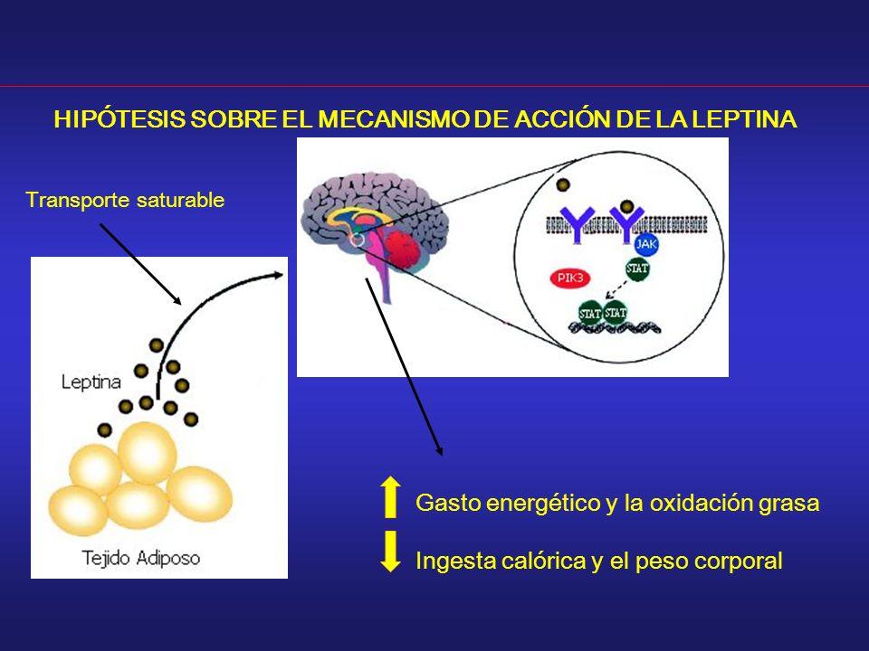 Transporte saturable Gasto energético y la oxidación grasa Ingesta calórica y el peso corporal HIPÓTESIS SOBRE EL MECANISMO DE ACCIÓN DE LA LEPTINA