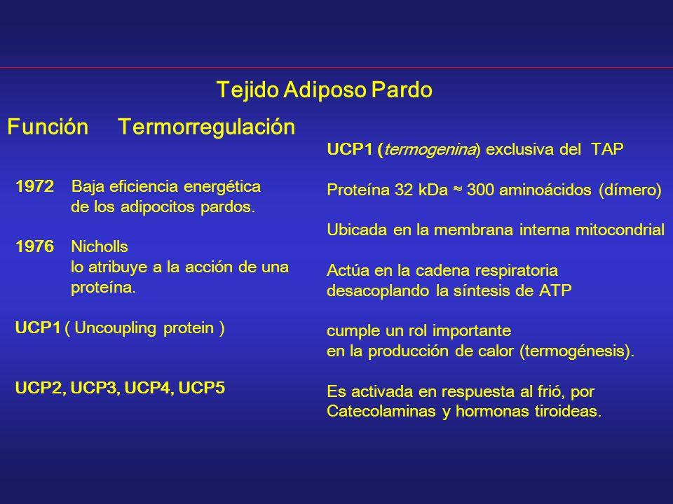 1972 Baja eficiencia energética de los adipocitos pardos. 1976 Nicholls lo atribuye a la acción de una proteína. UCP1 ( Uncoupling protein ) UCP2, UCP