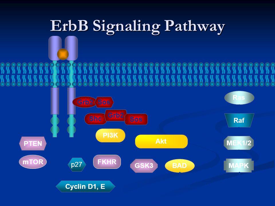 ErbB Signaling Pathway Grb2 Sos Shc Grb2 Sos PI3K Akt Ras Raf MEK1/2 MAPK BAD SurvivalProliferation PTEN mTOR Cell-cycle progression FKHR GSK3 p27 Cyclin D1, E