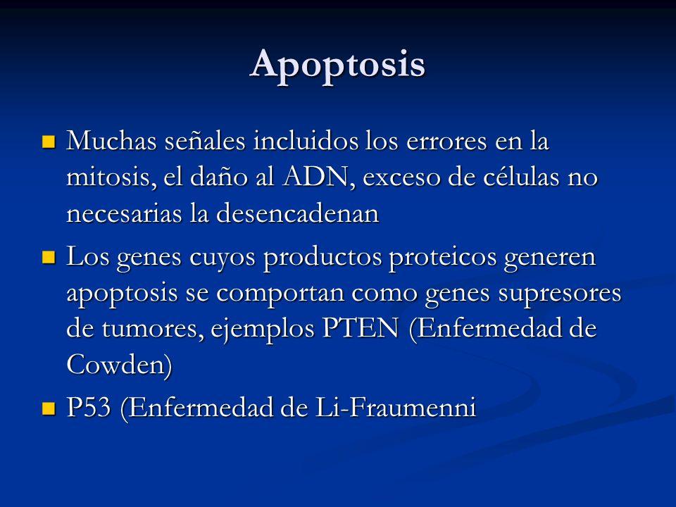 Apoptosis Muchas señales incluidos los errores en la mitosis, el daño al ADN, exceso de células no necesarias la desencadenan Muchas señales incluidos los errores en la mitosis, el daño al ADN, exceso de células no necesarias la desencadenan Los genes cuyos productos proteicos generen apoptosis se comportan como genes supresores de tumores, ejemplos PTEN (Enfermedad de Cowden) Los genes cuyos productos proteicos generen apoptosis se comportan como genes supresores de tumores, ejemplos PTEN (Enfermedad de Cowden) P53 (Enfermedad de Li-Fraumenni P53 (Enfermedad de Li-Fraumenni