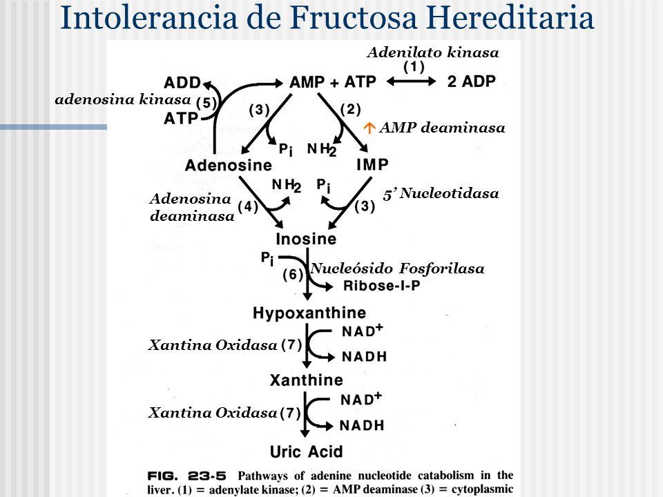 Intolerancia de Fructosa Hereditaria AMP deaminasa 5 Nucleotidasa Adenosina deaminasa adenosina kinasa Nucleósido Fosforilasa Xantina Oxidasa Adenilat
