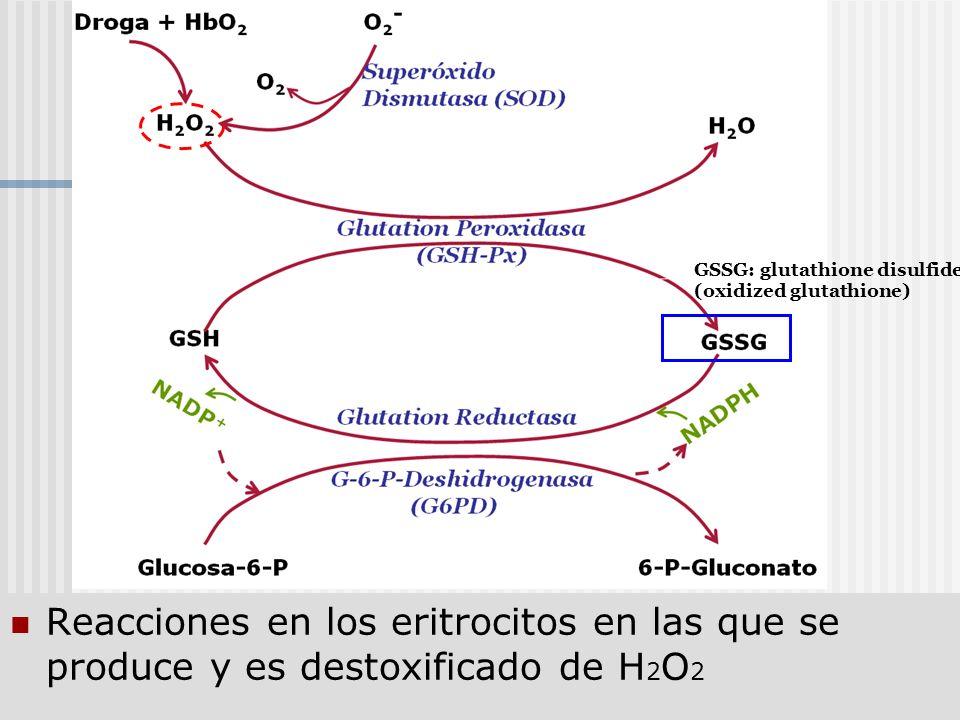 Reacciones en los eritrocitos en las que se produce y es destoxificado de H 2 O 2 GSSG: glutathione disulfide (oxidized glutathione)