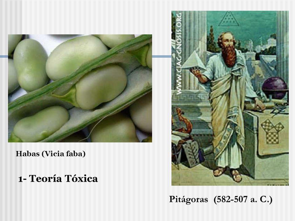 Pitágoras (582-507 a. C.) Habas (Vicia faba) 1- Teoría Tóxica
