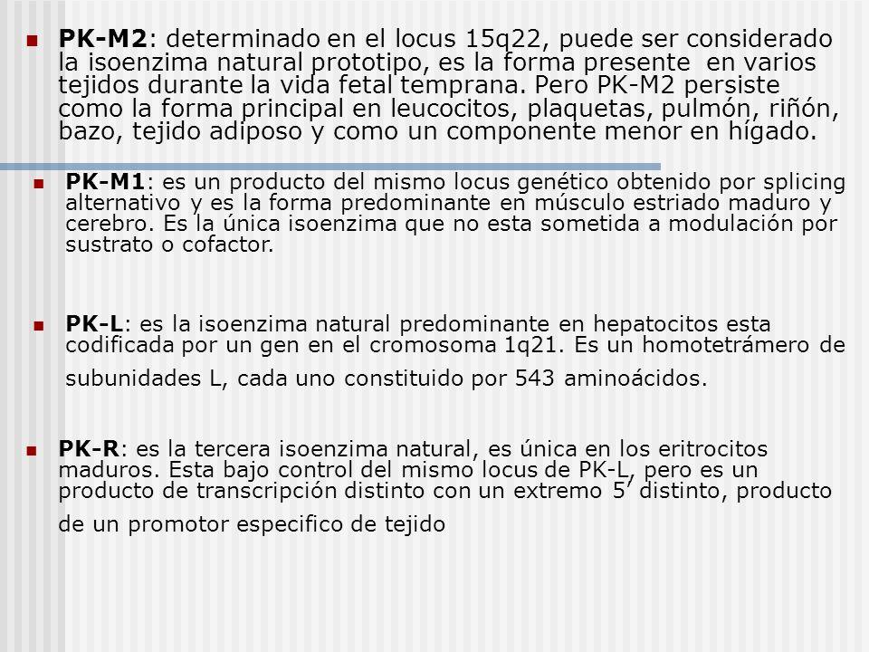 PK-M2: determinado en el locus 15q22, puede ser considerado la isoenzima natural prototipo, es la forma presente en varios tejidos durante la vida fet
