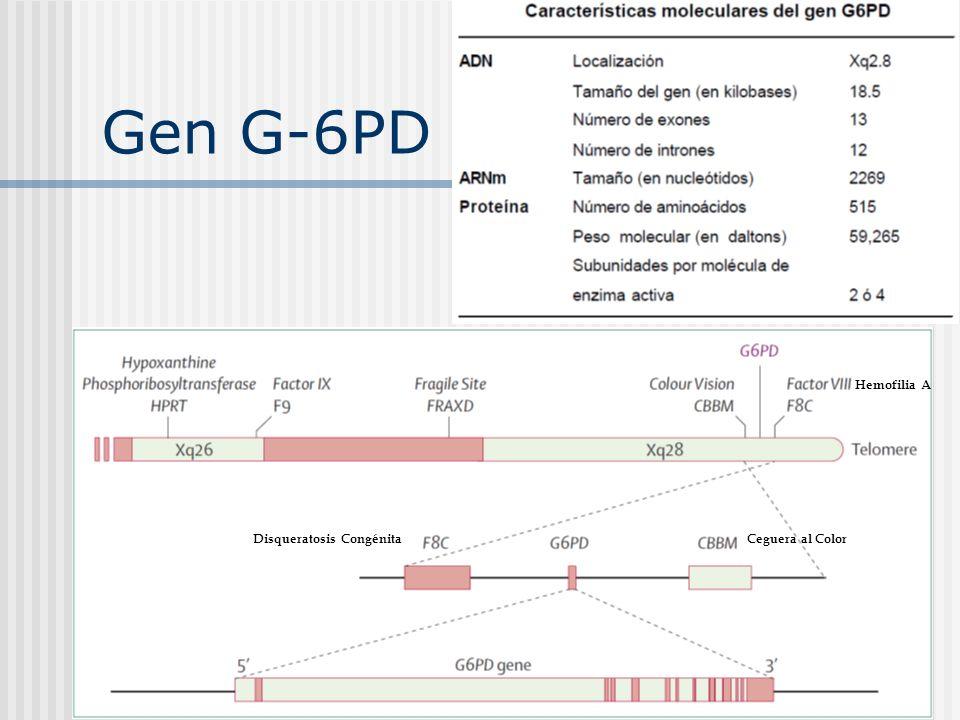 Gen G-6PD Disqueratosis CongénitaCeguera al Color Hemofilia A