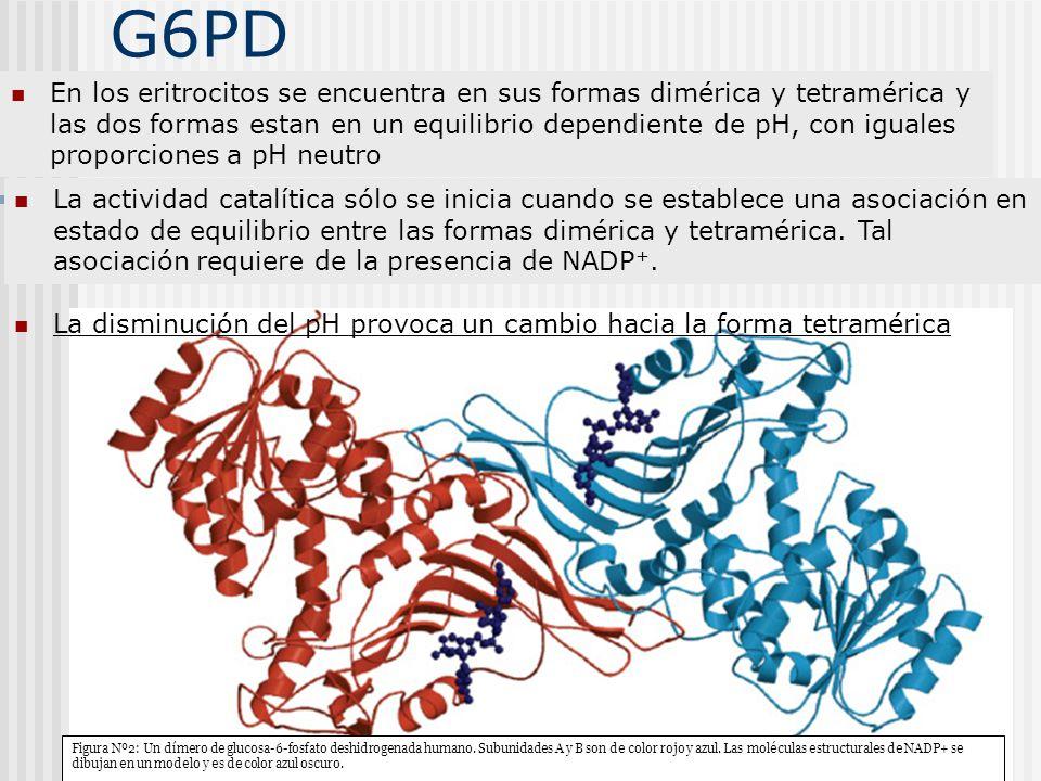 G6PD En los eritrocitos se encuentra en sus formas dimérica y tetramérica y las dos formas estan en un equilibrio dependiente de pH, con iguales propo