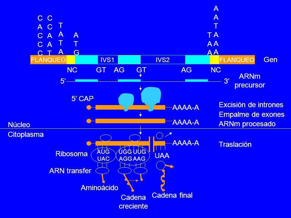 Núcleo Citoplasma Excisión de intrones Empalme de exones ARNm procesado FLANQUEO IVS1IVS2 NC GT AG 53 AAAA-A 5 CAP CACCCCACCC CCAATCCAAT TATATATA ATGA