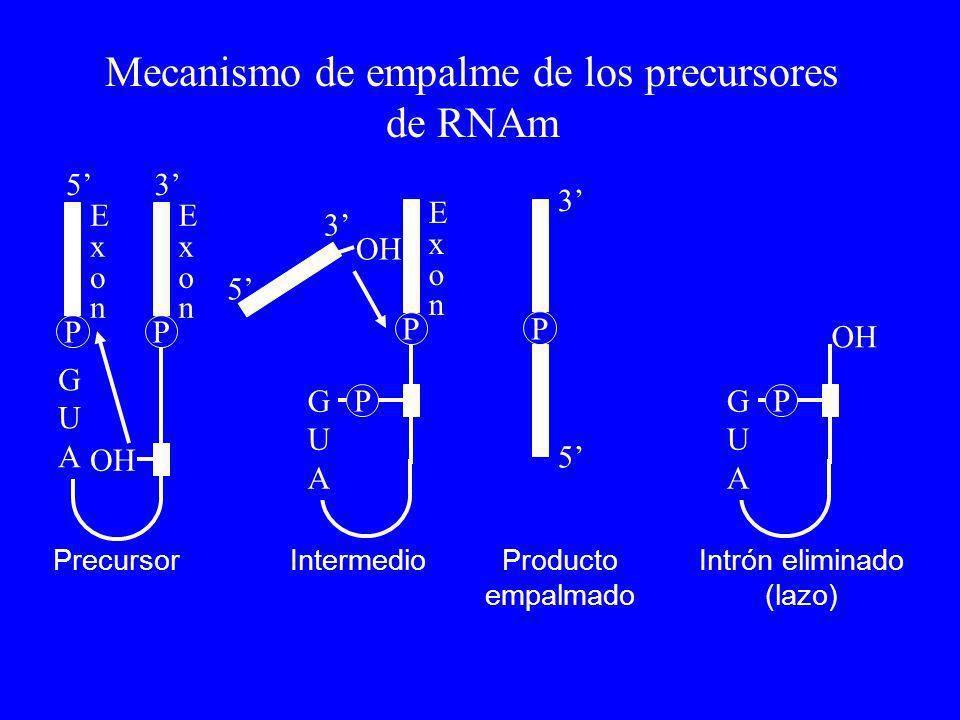 GUAGUA P OH P 3 5 GUAGUA PP 35 ExonExon ExonExon GUAGUA P P ExonExon 5 3 PrecursorIntermedioProducto empalmado Intrón eliminado (lazo) Mecanismo de em