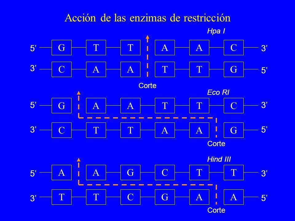 Acción de las enzimas de restricción GTAC CATG Hpa I Corte TA AT TTCGA AGCTT Hind III Corte A A CTTAG AATTC Eco RI Corte A G 5 5 5 5 5 5 3 3 3 3 3 3