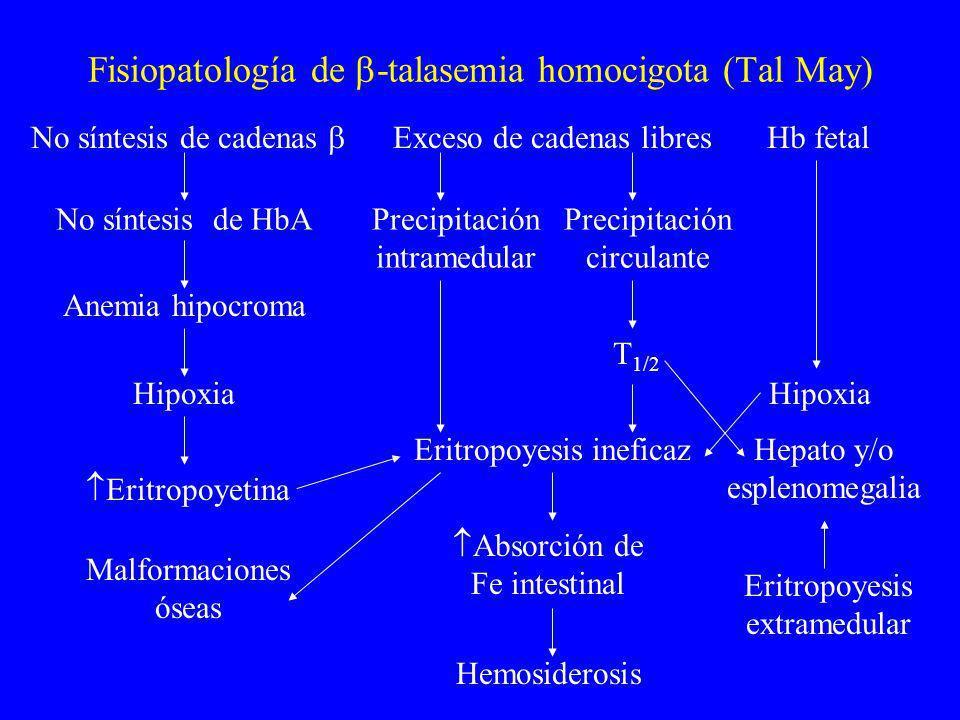 Fisiopatología de -talasemia homocigota (Tal May) Exceso de cadenas libres No síntesis de cadenas Hb fetal No síntesis de HbAPrecipitación intramedula