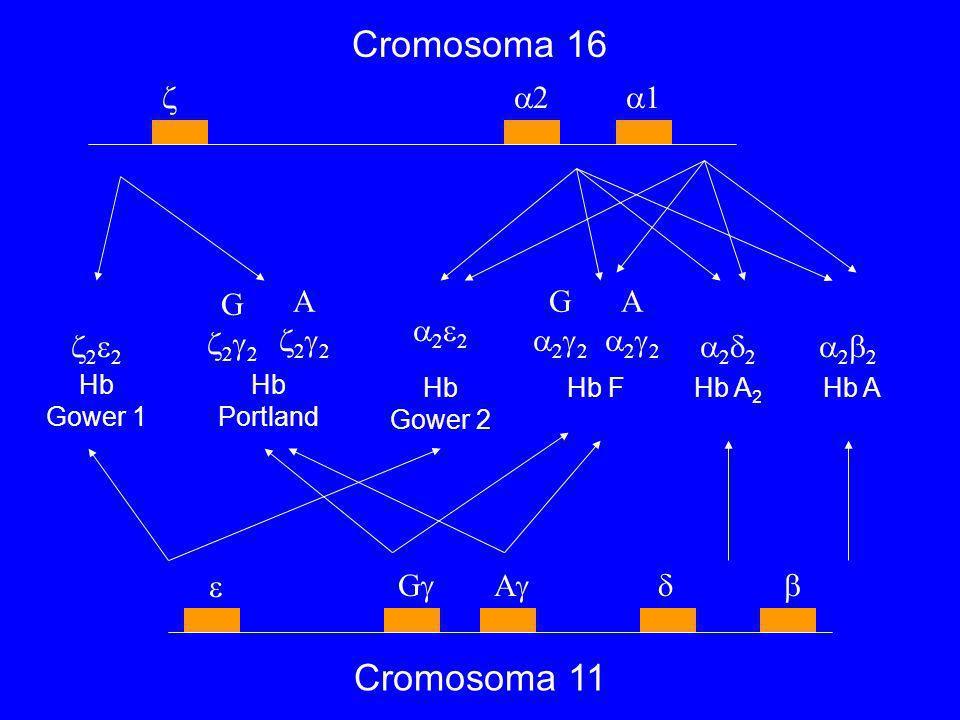 Cromosoma 16 Cromosoma 11 Hb Gower 1 Hb Portland Hb Gower 2 Hb FHb A 2 Hb A 2 1 2 G 2 A 2 G 2 2 A 2 2 2 G A