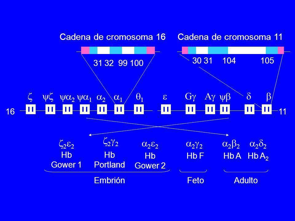 Hb Gower 1 Hb Portland Hb Gower 2 Hb FHb A 2 Hb A 2 2 2 2 2 2 EmbriónFetoAdulto 1611 2 1 2 1 1 G A 31 32 99 100 30 31 104 105 Cadena de cromosoma 16Ca