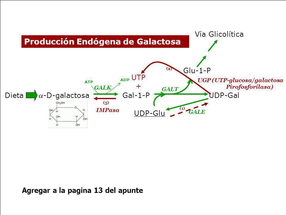 UDP-GalDieta -D-galactosa Glu-1-P UDP-Glu Vía Glicolítica GALK GALT GALE ATP ADP Producción Endógena de Galactosa Gal-1-P UGP (UTP-glucosa/galactosa P