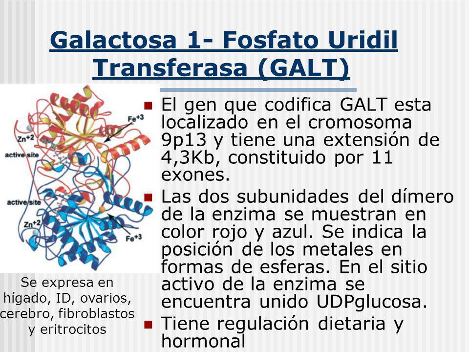 Galactosa 1- Fosfato Uridil Transferasa (GALT) El gen que codifica GALT esta localizado en el cromosoma 9p13 y tiene una extensión de 4,3Kb, constitui